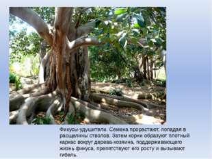Фикусы-удушители. Семена прорастают, попадая в расщелины стволов. Затем корни