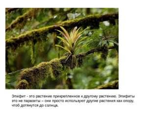 Эпифит - это растение прикрепленное к другому растению.Эпифиты это не парази