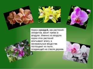 Корни орхидей, как растений-эпифитов, висят прямо в воздухе. Именно из воздух