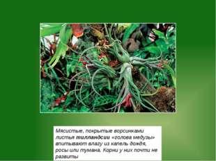 Мясистые, покрытые ворсинками листья тилландсии «голова медузы» впитывают вла