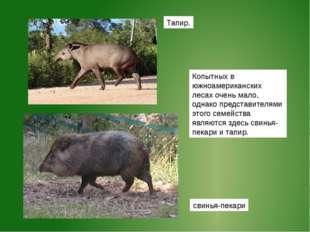 Тапир. Копытных в южноамериканских лесах очень мало, однако представителями э