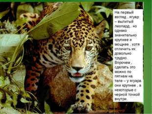 На первый взгляд , ягуар – вылитый леопард , но однако значительно крупнее и