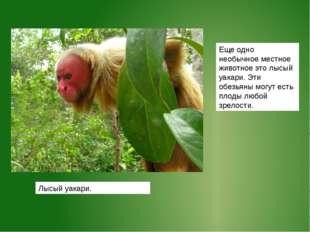 Еще одно необычное местное животное это лысый уакари. Эти обезьяны могут есть
