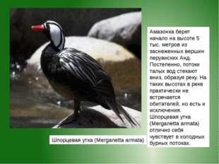 Шпорцевая утка (Merganetta armata) Амазонкаберет начало на высоте 5 тыс. мет