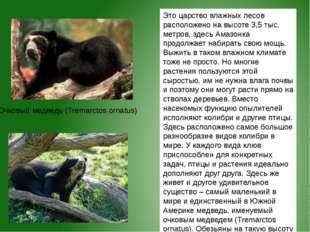 Очковый медведь (Tremarctos ornatus) Это царство влажных лесов расположено на