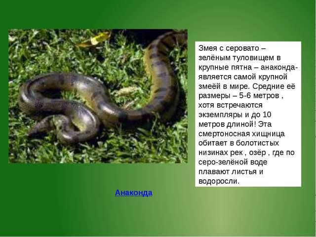 Змея с серовато – зелёным туловищем в крупные пятна – анаконда- является само...