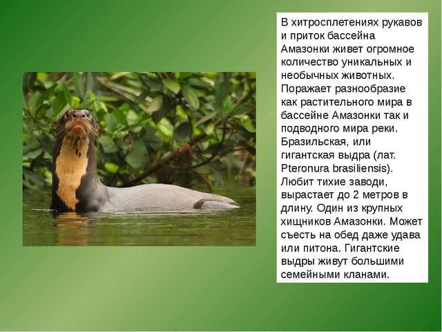 В хитросплетениях рукавов и приток бассейна Амазонки живет огромное количеств...