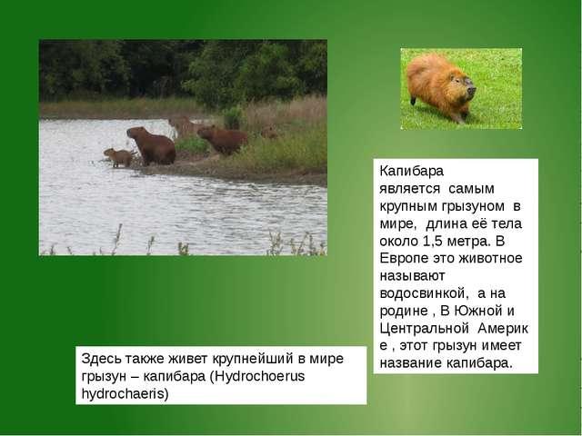 Здесь также живет крупнейший в мире грызун – капибара (Hydrochoerus hydrochae...