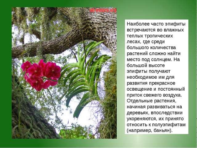 Наиболее часто эпифиты встречаются во влажных теплых тропических лесах, где с...
