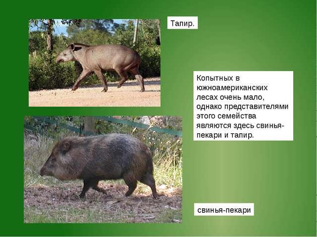 Тапир. Копытных в южноамериканских лесах очень мало, однако представителями э...