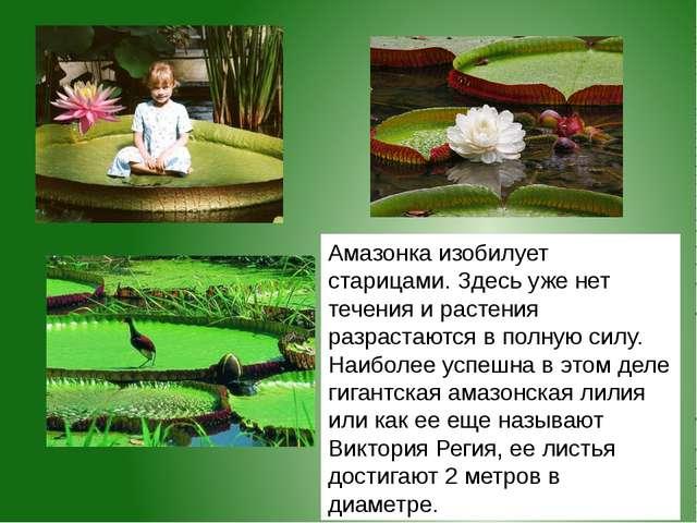 Амазонка изобилует старицами. Здесь уже нет течения и растения разрастаются в...