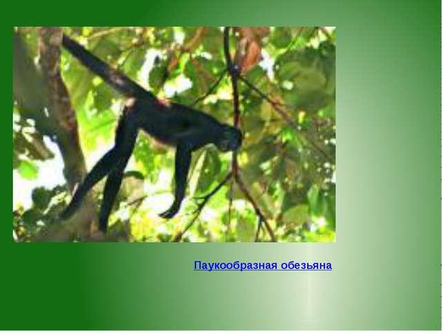 Паукообразная обезьяна