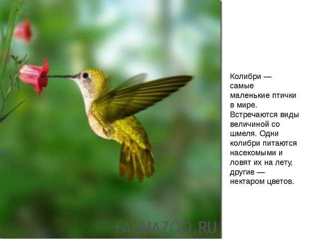 Колибри— самые маленькие птички в мире. Встречаются виды величиной со шмел...