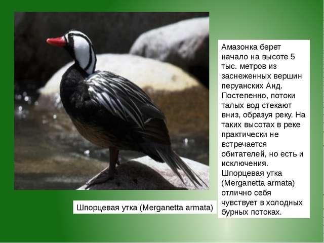 Шпорцевая утка (Merganetta armata) Амазонкаберет начало на высоте 5 тыс. мет...