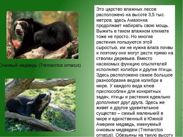 Очковый медведь (Tremarctos ornatus) Это царство влажных лесов расположено на...
