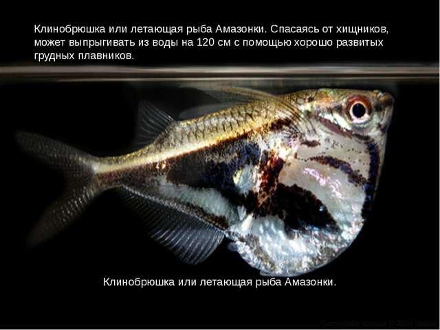 Клинобрюшка или летающая рыба Амазонки. Спасаясь от хищников, может выпрыгива...