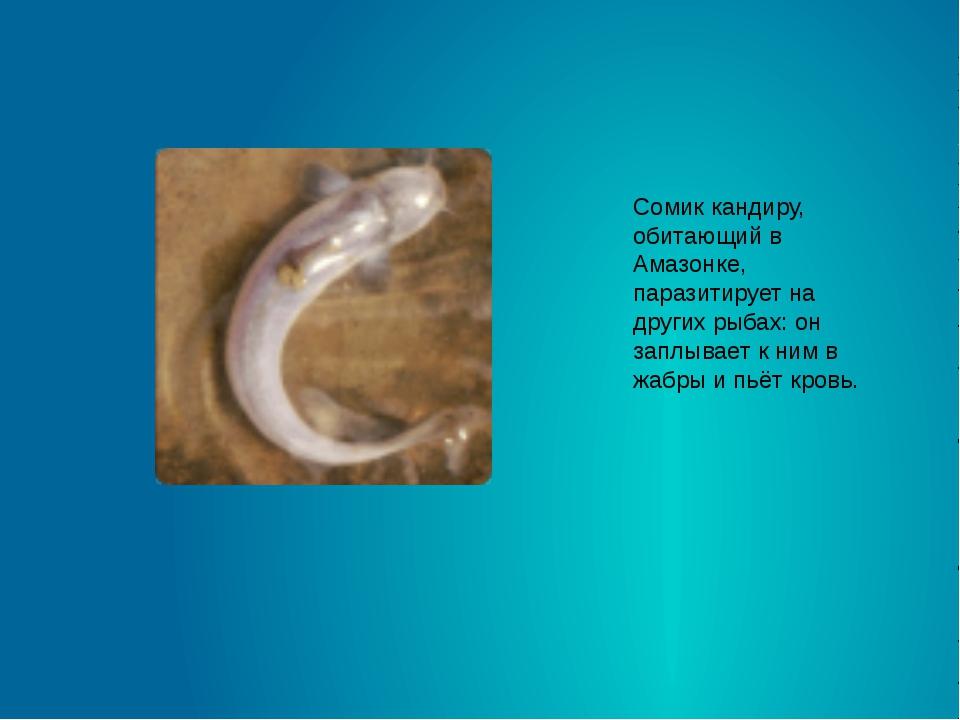Сомик кандиру, обитающий в Амазонке, паразитирует на других рыбах: он заплыва...
