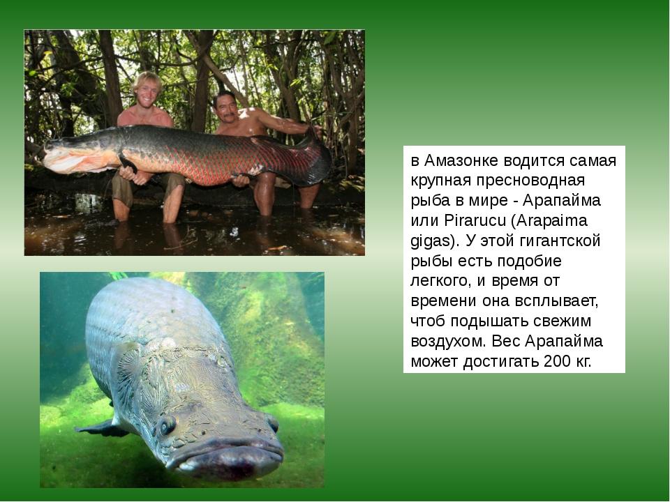 в Амазонке водится самая крупная пресноводная рыба в мире - Арапайма или Pira...