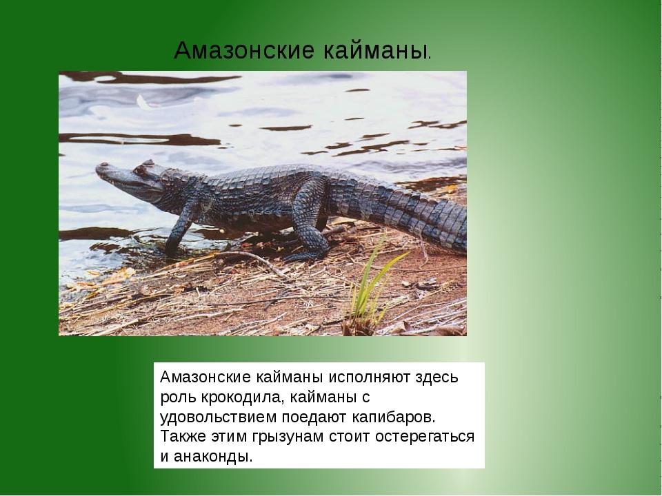 Амазонские кайманы исполняют здесь роль крокодила, кайманы с удовольствием по...