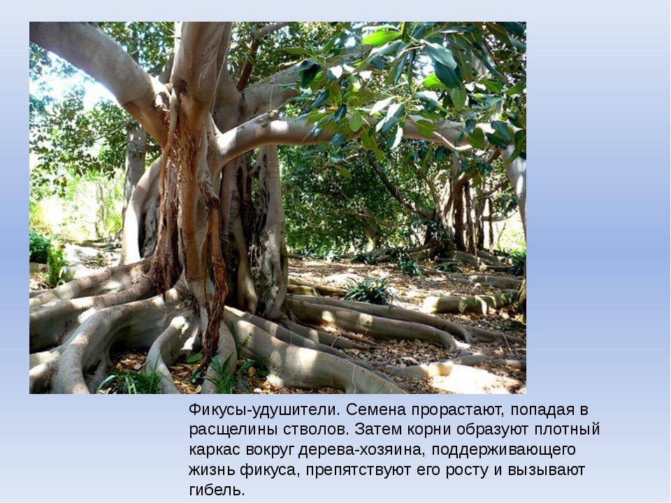 Фикусы-удушители. Семена прорастают, попадая в расщелины стволов. Затем корни...