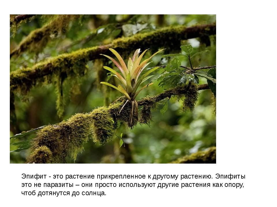 Эпифит - это растение прикрепленное к другому растению.Эпифиты это не парази...
