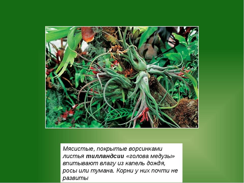 Мясистые, покрытые ворсинками листья тилландсии «голова медузы» впитывают вла...