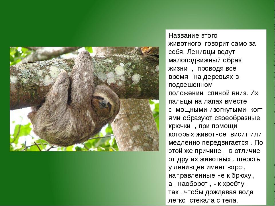 Название этого животногоговорит само за себя. Ленивцы ведут малоподвижный о...