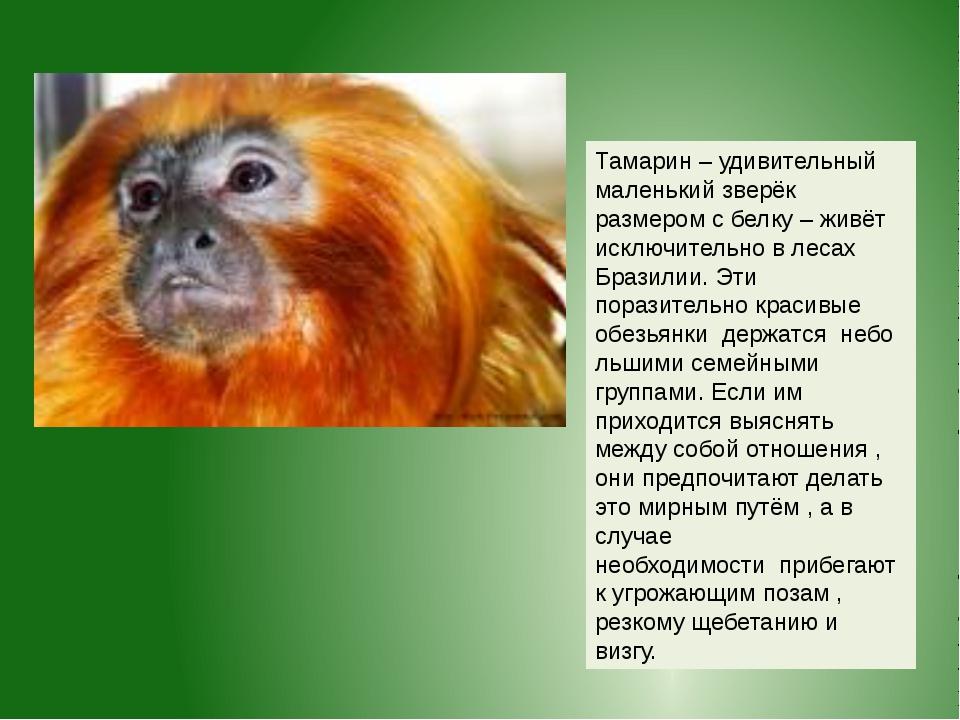 Тамарин – удивительный маленький зверёк размером с белку – живёт исключительн...