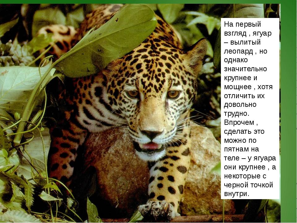 На первый взгляд , ягуар – вылитый леопард , но однако значительно крупнее и...