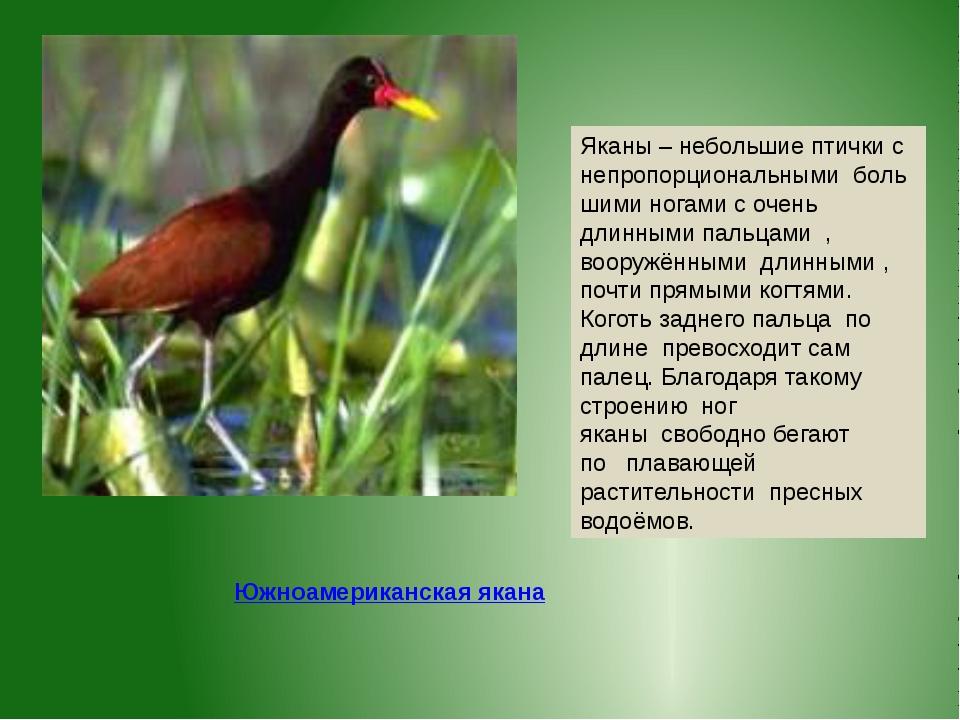 Яканы – небольшие птички с непропорциональнымибольшими ногами с очень длинн...