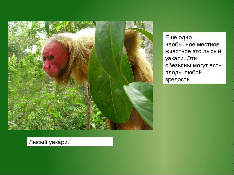 Еще одно необычное местное животное это лысый уакари. Эти обезьяны могут есть...
