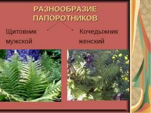 РАЗНООБРАЗИЕ ПАПОРОТНИКОВ Щитовник Кочедыжник мужской женский