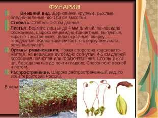 ФУНАРИЯ Внешний вид. Дерновинки крупные, рыхлые, бледно-зеленые, до 1(3) см