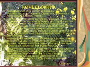 КОЧЕДЫЖНИК Кочедыжник женский растет во влажных, тенистых участках лесов, кус