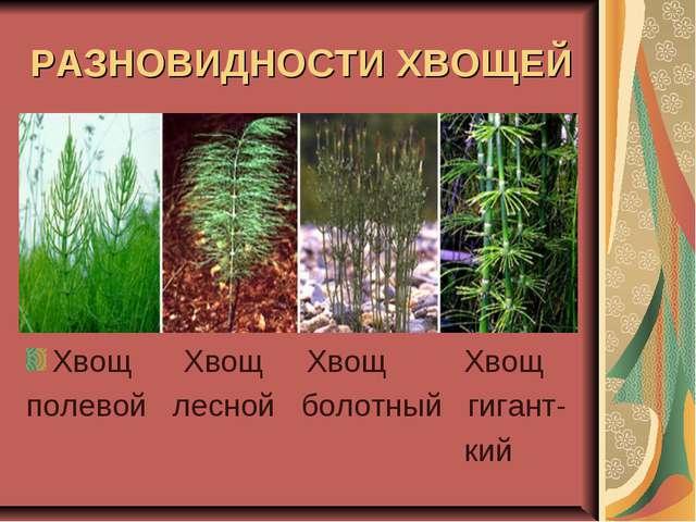 РАЗНОВИДНОСТИ ХВОЩЕЙ Хвощ Хвощ Хвощ Хвощ полевой лесной болотный гигант- кий