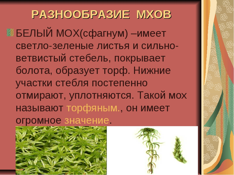 РАЗНООБРАЗИЕ МХОВ БЕЛЫЙ МОХ(сфагнум) –имеет светло-зеленые листья и сильно-ве...