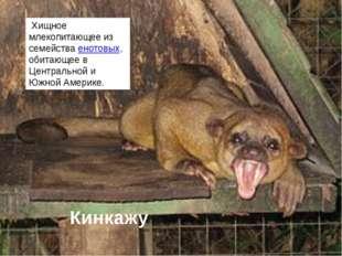 Кинкажу Хищное млекопитающее из семействаенотовых, обитающее в Центральной