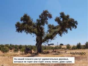 На нашей планете растут удивительные деревья, которые не горят или горят очен