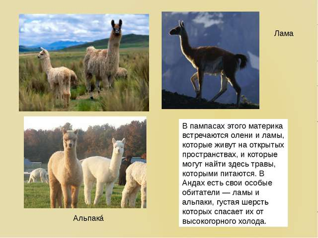 В пампасах этого материка встречаются олени и ламы, которые живут на открытых...