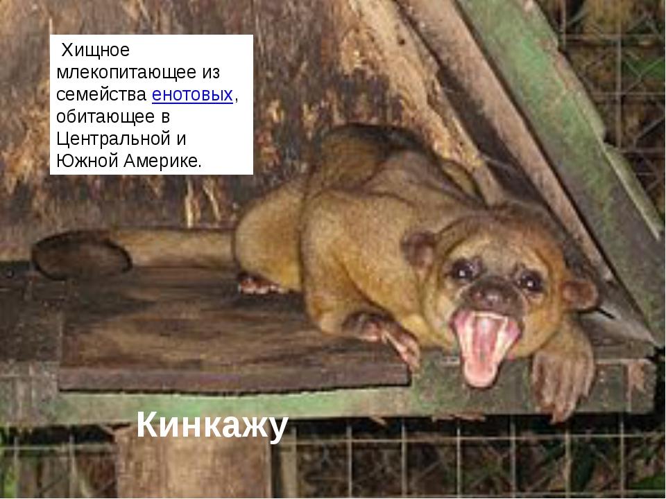 Кинкажу Хищное млекопитающее из семействаенотовых, обитающее в Центральной...