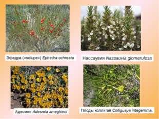 Эфедра («solupe»)Ephedra ochreata НассаувияNassauvia glomerulosa АдесмияA