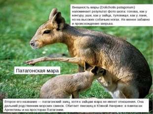 Патагонская мара Второе его название — патагонский заяц, хотя к зайцам мара н