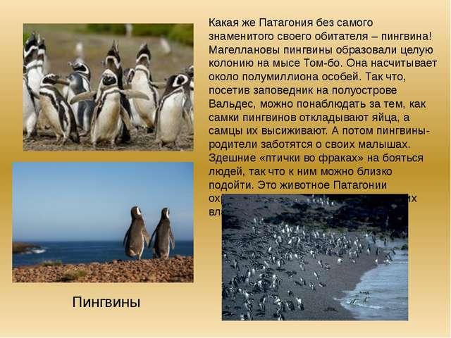 Какая же Патагония без самого знаменитого своего обитателя – пингвина! Магелл...