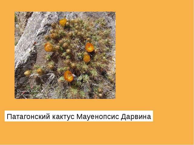 Патагонский кактус Мауенопсис Дарвина