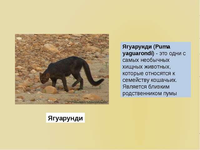 Ягуарунди (Puma yaguarondi)- это одни с самых необычных хищных животных, кот...