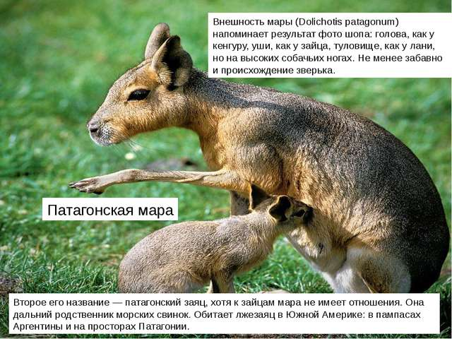 Патагонская мара Второе его название — патагонский заяц, хотя к зайцам мара н...