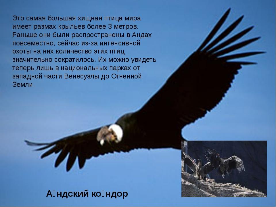 Это самая большая хищная птица мира имеет размах крыльев более 3 метров. Рань...