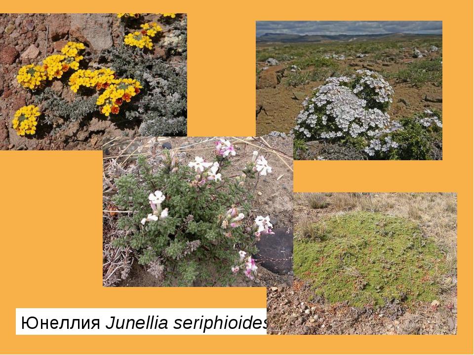 ЮнеллияJunellia seriphioides