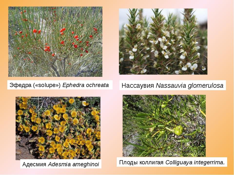 Эфедра («solupe»)Ephedra ochreata НассаувияNassauvia glomerulosa АдесмияA...