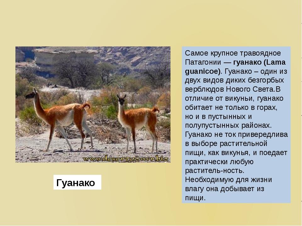 Самое крупное травоядное Патагонии —гуанако(Lama guanicoe).Гуанако – один...